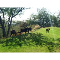Sheep and goats are part of the charm at Hapuna Golf Course on the Big Island.